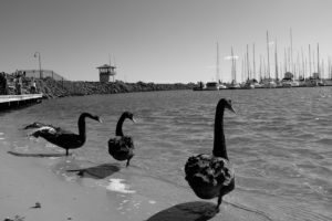 Swans at SK Breakwater 2516
